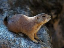 Gopher close up. A young ground squirrel in the wild looks sideways royalty free stock image