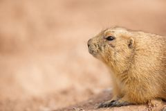 Gopher Closeup With Copy Space. Closeup of a gopher in the dirt with copy space in blurred background royalty free stock photos