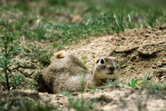Gopher closeup in a Hole Looking Curiously. Gopher close up in a Hole Looking Curiously stock image