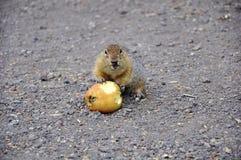 Gopher com fome com uma maçã Fotos de Stock Royalty Free