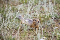 Gopher crawling and sniffing Royalty Free Stock Photo