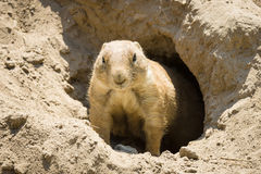 Gopher. Curious gopher looks out of burrows royalty free stock image