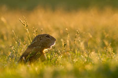 Gopher dans l'herbe Photo stock