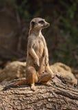 Gopher in de dierentuin van de stad van Zagreb stock foto's