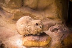Gopher della marmotta Fotografie Stock