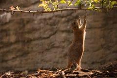 Gopher della marmotta che prova a raggiungere ramo Fotografia Stock