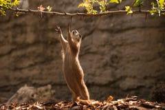 Gopher della marmotta che prova a raggiungere ramo Immagini Stock Libere da Diritti