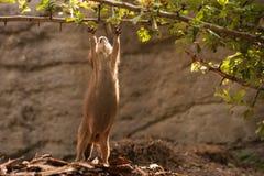 Gopher della marmotta che prova a raggiungere ramo Fotografie Stock Libere da Diritti