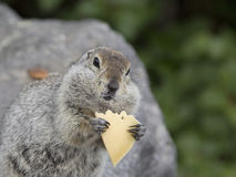 Gopher, der ein Stück Käse isst Lizenzfreies Stockfoto