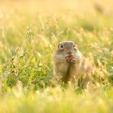 Gopher die een hazelnoot in zonovergoten gras eten Stock Foto's