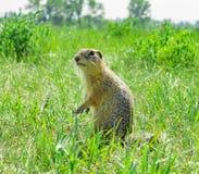 Gopher die en zich in het gras bevinden meespelen Royalty-vrije Stock Afbeelding