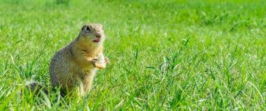 Gopher die reepje van brood in het gras eten Royalty-vrije Stock Afbeeldingen