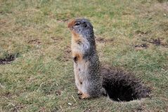 Gopher on duty Royalty Free Stock Photography