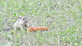 Gopher eating carrot stock video footage