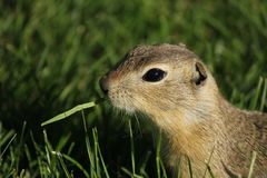Gopher eating grass Stock Photos