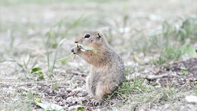 Gopher eating leaf stock video footage