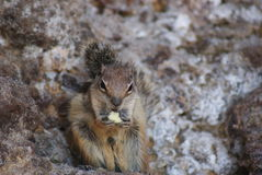 Gopher. Eating nuts in close up Stock Photos