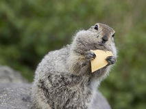 Gopher eating a piece of cheese.  stock image
