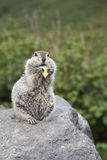 Gopher eating a piece of cheese Royalty Free Stock Image