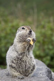 Gopher eating a piece of cheese Royalty Free Stock Photography