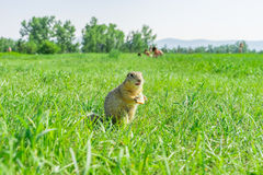 Gopher eating small piece of bread on meadow with some people on the background Stock Photos
