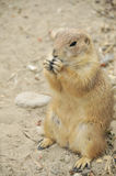 Gopher eating Royalty Free Stock Photography