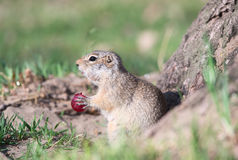 Gopher eats grape. Funny gopher eats red grape stock photo
