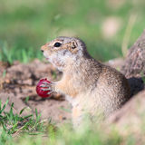 Gopher eats grape Stock Images