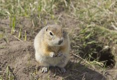 Gopher genus  rodents stock image