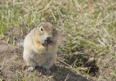 The gopher eats the seeds. Gopher genus  rodents of the squirrel family. The gopher eats the seeds stock photo