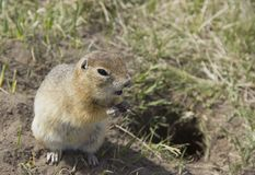 The gopher eats the seeds. Gopher genus  rodents of the squirrel family. The gopher eats the seeds royalty free stock image