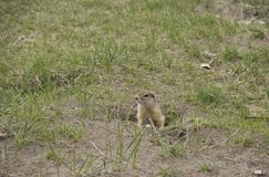 Ground squirrel near its burrow on a meadow stock photos