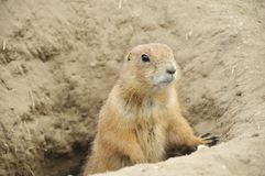 Gopher getting out of a hole. In a dry field stock images