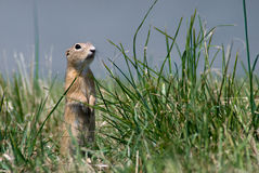 Gopher in the grass Stock Photography