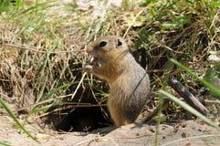 Gopher (Ground Squirrel). The brown gopher (Ground Squirrel Stock Photography