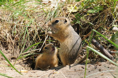 Gopher (Ground Squirrel). The brown gopher (Ground Squirrel stock photography
