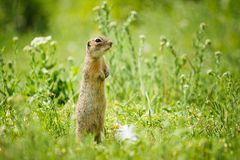 Gopher. In the high green grass royalty free stock photos