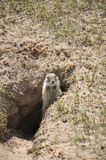 Gopher in hole. Gopher(Spermophilus dauricus) in the wild nature near the mink stock images