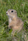 Gopher Stock Photography