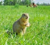 Gopher je małego kawałek chleb na łące z ludźmi na tle Zdjęcie Royalty Free