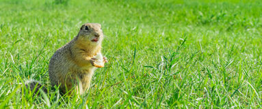 Gopher je małego kawałek chleb w trawie Obrazy Royalty Free