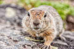 Gopher Royalty Free Stock Image