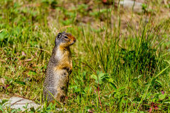 Gopher Keeping Watch Stock Images