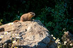 Curious wild gopher watches from some rocks. A wild gopher in his natural habitat, watching from the rocks above his hole stock images