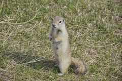 The gopher is known for his habit of standing up, it is a kind of act of research stock photo