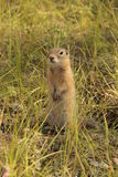 Gopher Stock Image