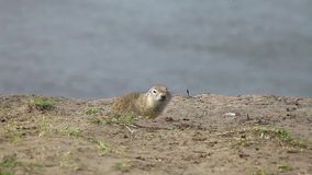Gopher looking for food stock footage