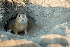 Gopher. Looks out of the hole Stock Photos