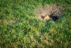 Gopher. Looks out of the hole Stock Image
