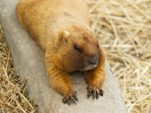 Gopher lying on the ground. Stock Photography